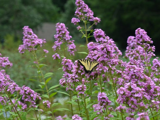 Jeana garden phlox is extremely attractive to pollinators.