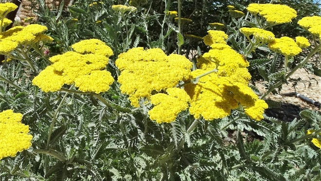 Moonshine yarrow (Achillea taygetea) is a perennial plant that is blooming now and will be through early fall. It always catches the eye at the Demonstration Garden.