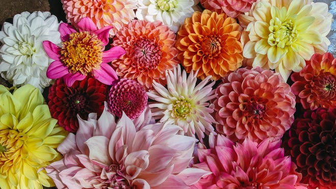 Featured are several dahlia varieties such as cafe au lait and sugartown sunrise.