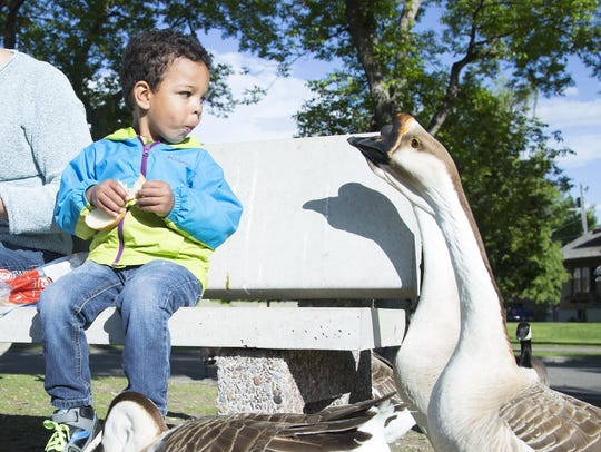 Sam Fritz, 3, eats bread while feeding geese in Gibson
