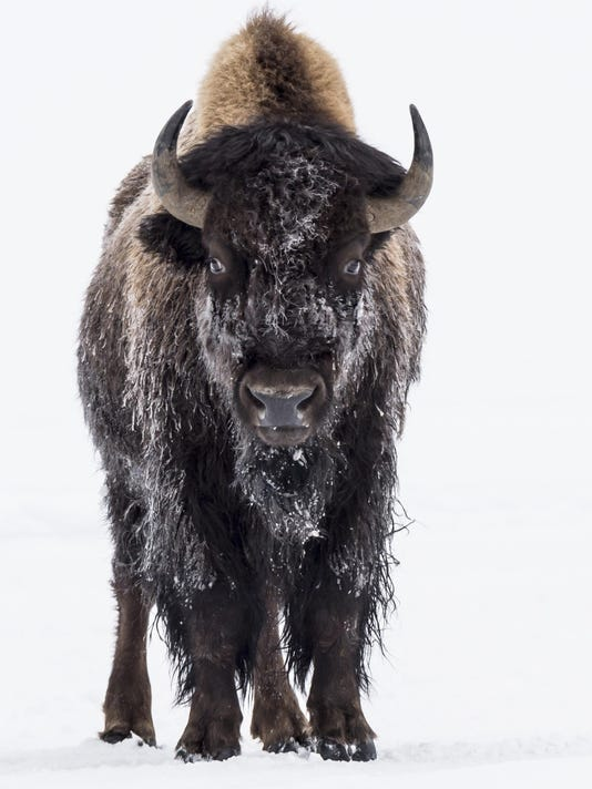 Snowy Bison by Fred Haaser 2016 Adult Winner