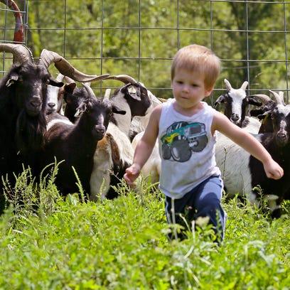 Fainting goats at Kid Valley Farm watch as Gage Wegener,