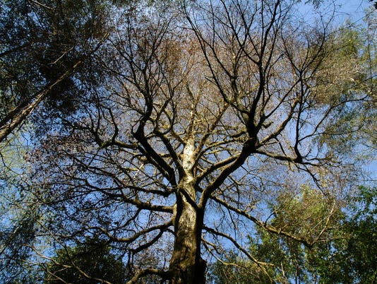 Invasive Sudden Oak