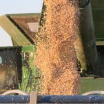 Chickpeas pour from a combine on a farm into a grain truck between Choteau and Dutton.