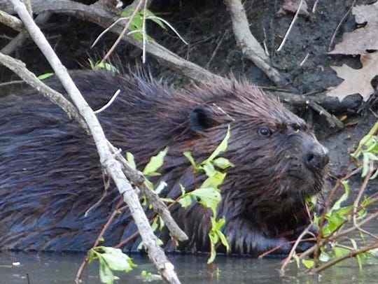 A beaver rests in shallow water at Belle Isle.