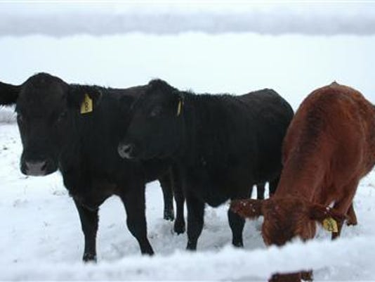 cattle_in_snow.JPG