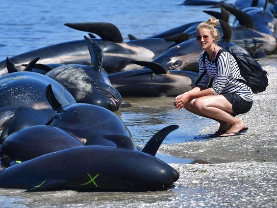 A member of the public looks at the dead pilot whales