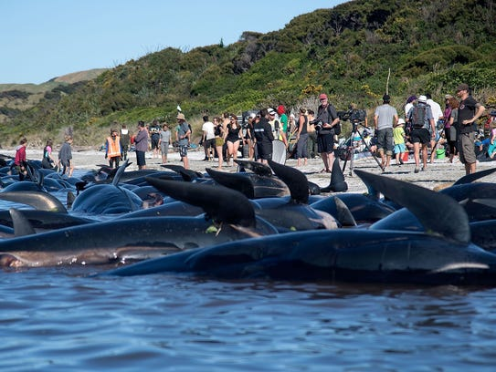 Dead pilot whales sit on the high tide line during