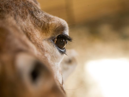 All eyes remain on April the giraffe as she waits to