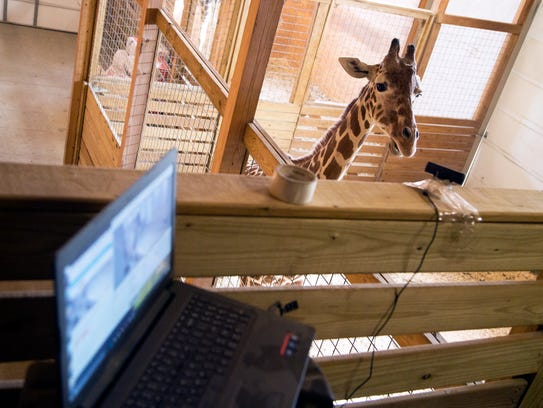 An online live stream  of April the pregnant giraffe