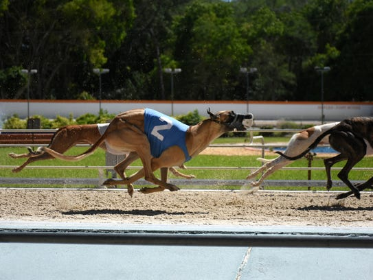 Dogs racing at the Naples-Fort Myers Greyhound Track
