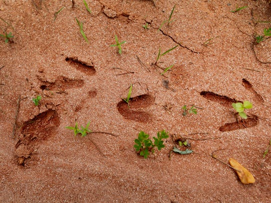 Turkey and deer tracks imprinted in the dirt May 18,