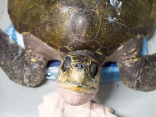 A rescued olive ridley sea turtle rests at the aquarium