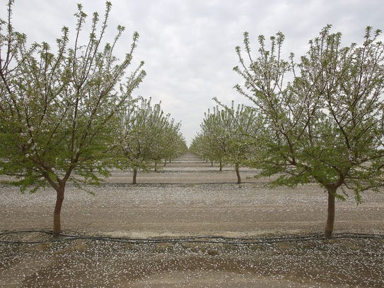 A drip irrigation system waters an almond orchard at