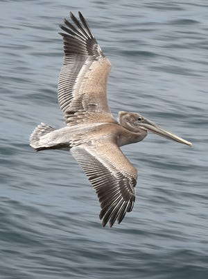 A young brown pelican sails over the ocean near Scorpion Rock off Santa Cruz Island.