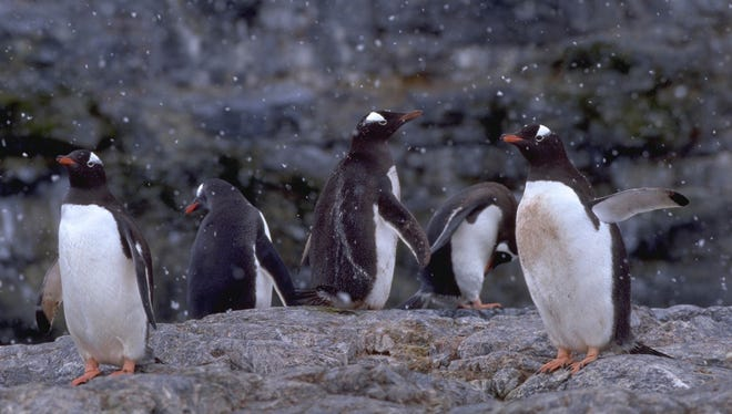 Five gentoo penguins waddle as snow falls on Cuverville Island in the Antarctic Peninsula.