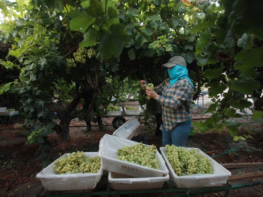 An agricultural worker harvests grapes near Avenue 66 in the east of Mecca. Growers nationwide say a labor shortage is making it harder to compete with growers in other countries.