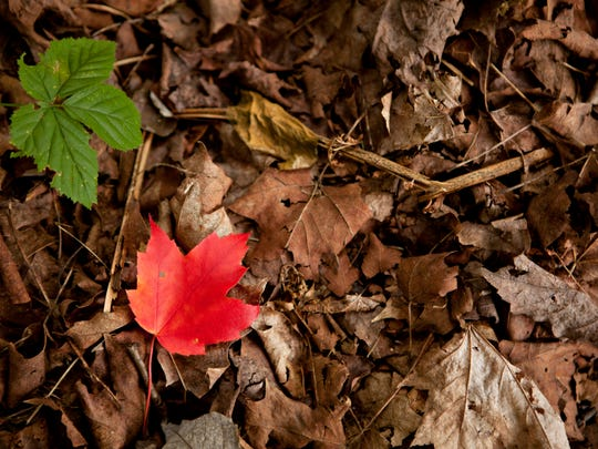 A fresh offering mixes with the decay of last year's leaves on the forest floor near Stannard on Saturday, Sept. 20, 2014.
