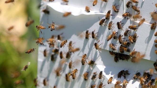 This photo taken Thursday, July 23, 2015, at a farm in Lakeville, Minn., shows honey bees at a bee hive. Minnesota Gov. Mark Dayton has issued an executive order restricting uses of neonicotinoid pesticides to reverse the decline of bee and other pollinator populations. Dayton made the announcement Friday, Aug. 26, 2016, at the Minnesota State Fair, joined by state agency heads and legislative leaders. He points out that pollinators are crucial to the state's $90 billion agricultural sector, but they've been in decline over the past decade.  (David Joles/Star Tribune via AP)