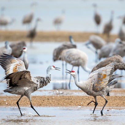 Sandhill Cranes face off as they start their day in