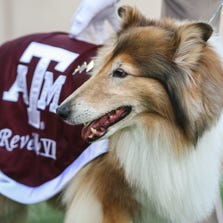 Sep 6, 2014; College Station, TX, USA; Texas A&M Aggies mascot Reveille VIII on the field before a game against the Lamar Cardinals at Kyle Field. Mandatory Credit: Troy Taormina-USA TODAY Sports