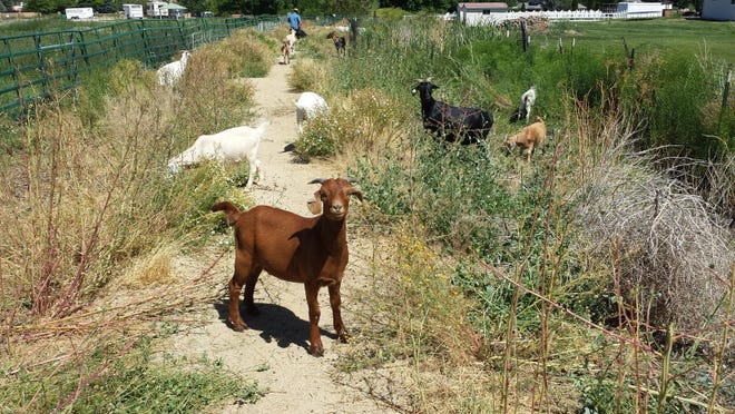 Goats from Sparks-based Goat Grazers are removing weeds from Washoe County's Anderson Park on the south side of Reno.