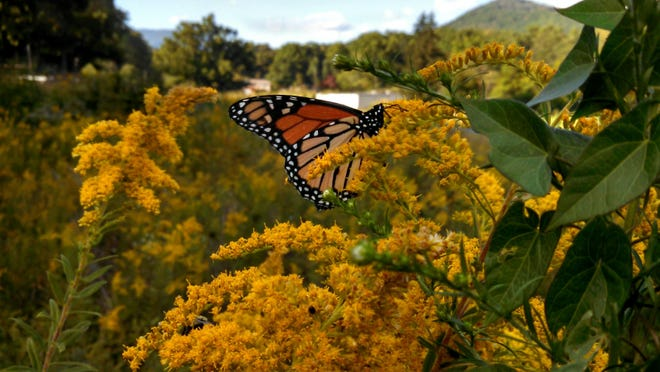 This Monarch butterfly found goldenrod with enough nectar to satisfy it for the moment. This Monarch was near the retention pond at the Black Mountain golf course.