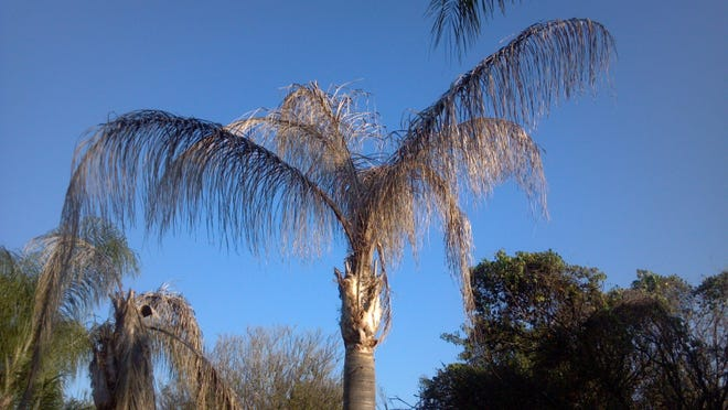 This is a Queen palm with Fusarium disease. You can tell because all of the fronds are brown, but still upright.