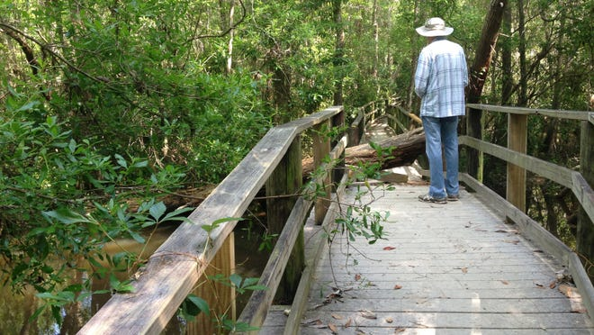 A lone stroller explores the damaged half-mile boardwalk at the Edward Ball Nature Trail at the University of West Florida on Tuesday morning. The boardwalk has been closed until repairs can be made. The trail is a favorite haunt of nature lovers who enjoy views of the hardwood swamp and wildlife.