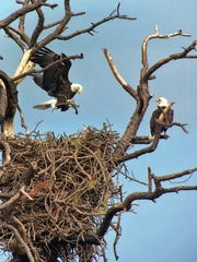 Bald eagles choose a tall snag at the St. Marks National Wildlife Refuge for their nest site.