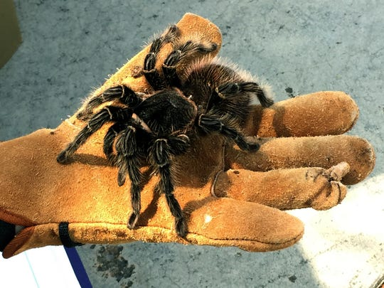 A tarantula from Zoo Knoxville looks scary.