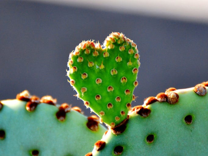cactus bud in the shape of a heart