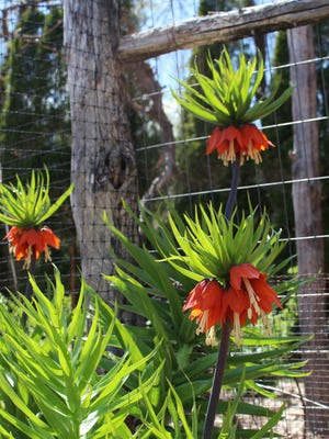 The crown imperial is a majestic spring bulb that deserves to be more widely known and grown.