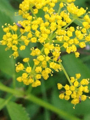 Native Golden Alexander is often mistaken for invasive wild parsnip, which has somewhat similar, yellowish-green flowers. Make an effort to be able to distinguish the two in order to protect native plants of our area from needless persecution. ROB ZIMMER/Post-Crescent Media.