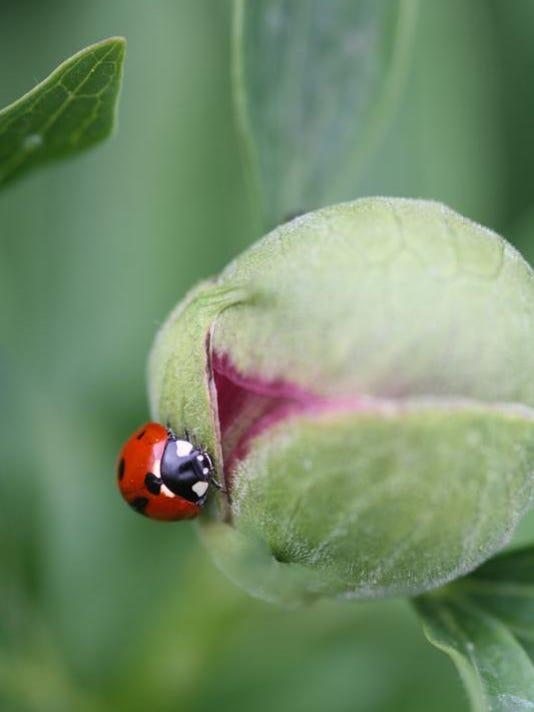 -FALBrd_05-18-2013_Tribune_1_H001~~2013~05~17~IMG_1._Ladybug_on_a_peon_1_1_O.jpg
