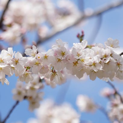 The history behind Delaware's wild cherry blossoms