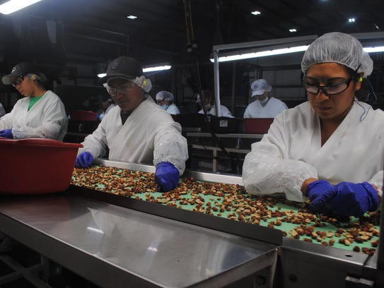 Workers sort hazelnuts in the NW Hazelnut Company processing