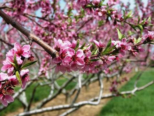 636093538757383477-peach-flowers.jpeg