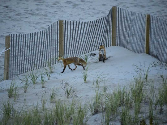 Two foxes on the dune at 83rd Street.