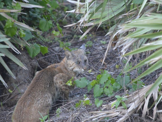 This bobcat was photographed just before dusk Monday