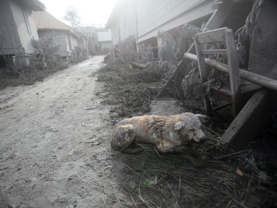 An apparently injured dog covered in volcanic ash crouches