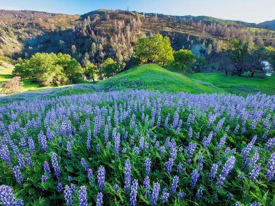 Wildflowers spread out across a hillside in Berryessa