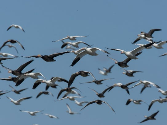 A sight light goose hunters would like to see from