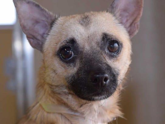 Jessie - Male Chihuahua mix, adult. Intake date:10/6/2017