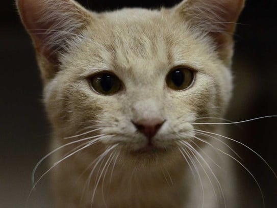Max - Male domestic short hair, adult. Intake date:9/27/2017