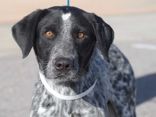 Spock - Male pointer mix, about 1 year, 7 months old.Intake
