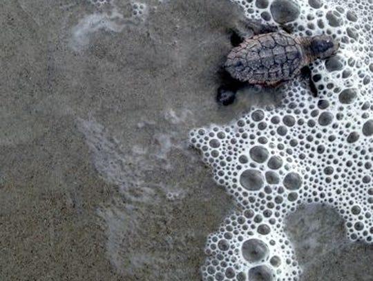 1407170826013-Sea-Turtle-Hatchlings-30