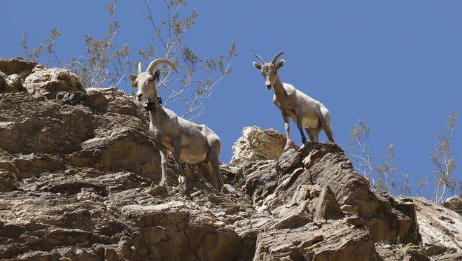 A bighorn ewe and lamb.