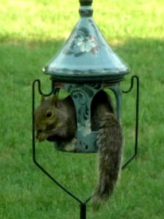 """Joseph Miller of Manchester Township submitted this 2010 photo, writing """"We caught this squirrel curled up in our bird feeder."""" Don't let this happen to your bird feeder!"""