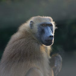 Baboon briefly escapes crate, roams loose at San Antonio airport